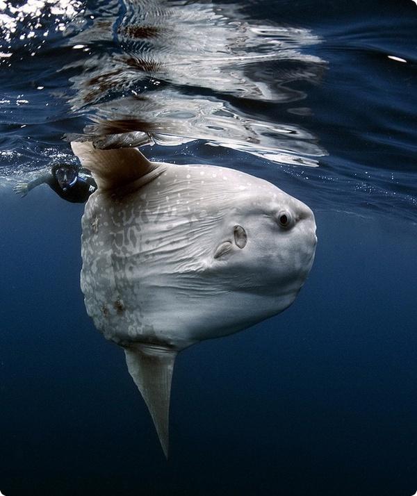 Огромная рыба-луна и фотограф Даниэль Ботельо