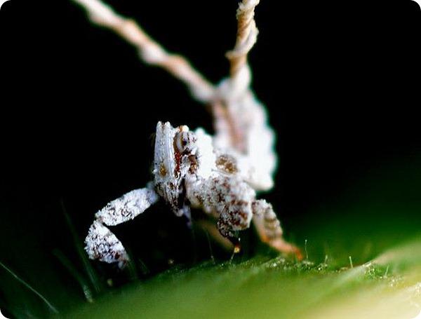 Австралийская цикадка Olonia sp.
