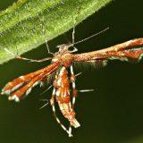 Пальцекрылка Гиммельмана