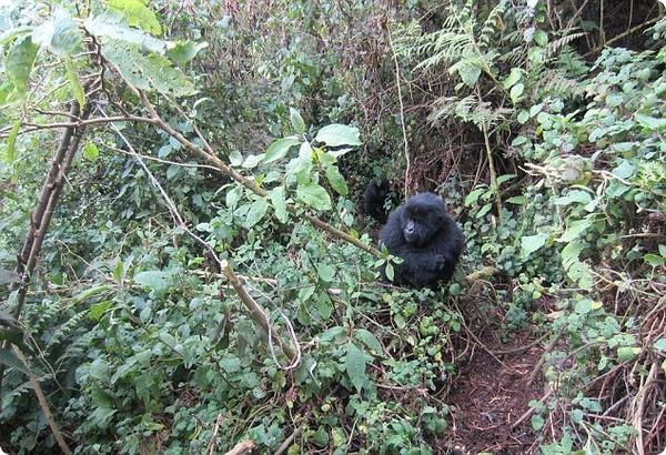 Гориллы научились справляться с ловушками браконьеров