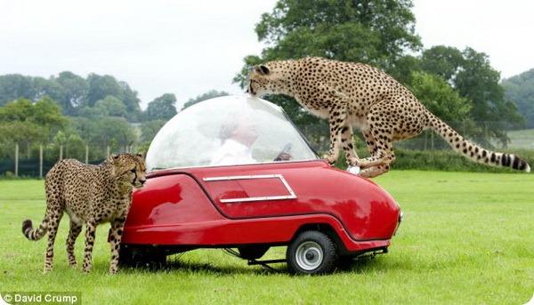 Cамая быстрая в мире кошка и самый медленный автомобиль