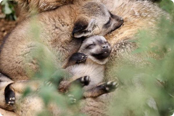 Большеухие лисицы из Праги