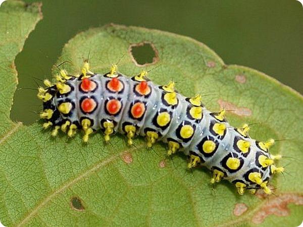 Гусеница пестрянки Cyclosia papilionaris
