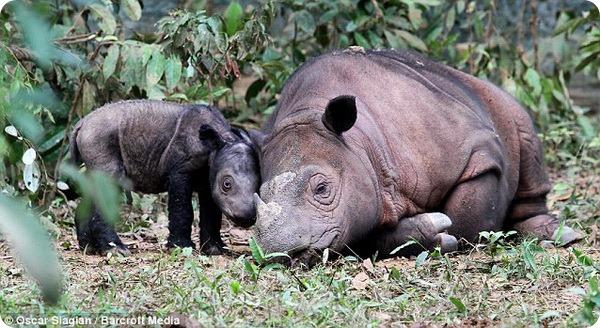 Суматранский носорог из Индонезии