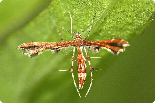 Пальцекрылка Гиммельмана (лат. Geina tenuidactylus)