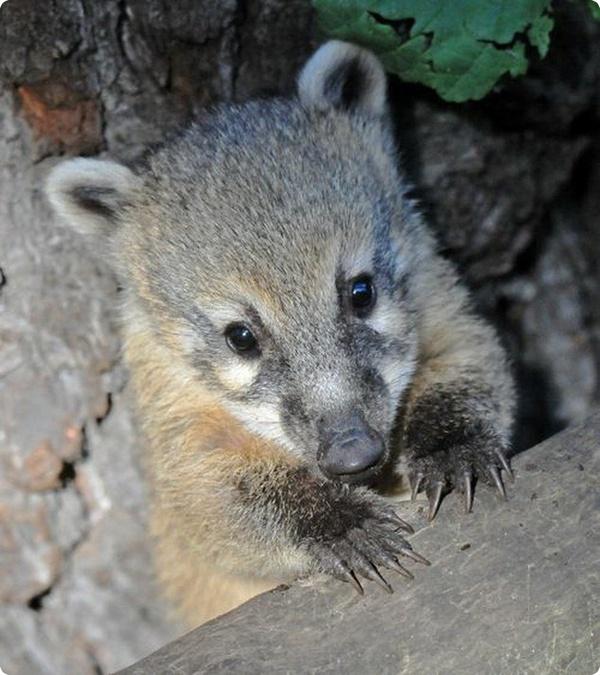 Дебют детёнышей коати в немецком парке дикой природы
