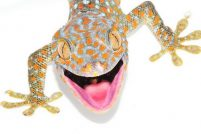 Секрет цепких лапок гекконов Токи и щавелевого листоеда