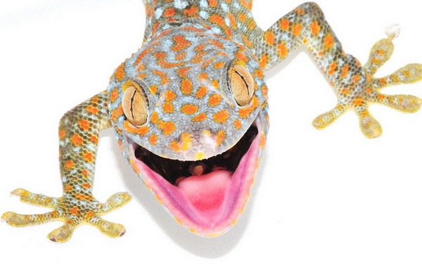 Геккон токи (Gekko gecko)