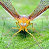 Косоглазая цикада
