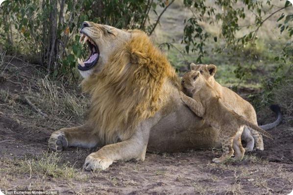Первая встреча львенка с отцом