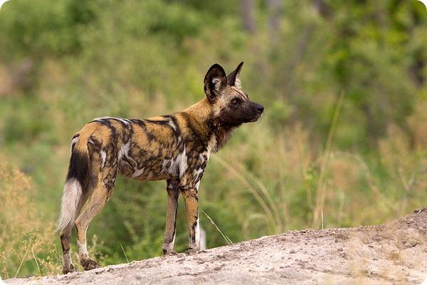 Гиеновидная собака (лат. Lycaon pictus)