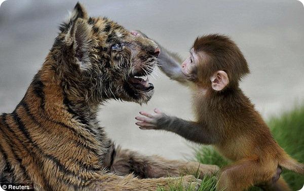 Если дружить, то с тигром