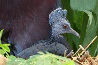 Веероносный венценосный голубь из Колчестера