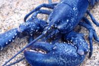 Разноцветные омары: один на миллионы