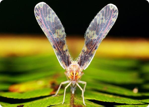 Носатка (лат. Dictyopharidae)