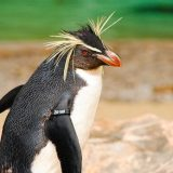 Большой пингвин