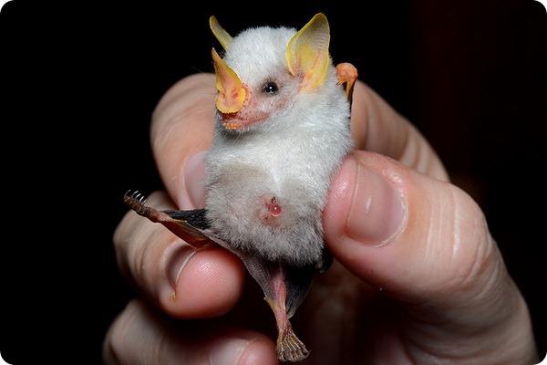 Белые летучие мыши (лат. Ectophylla alba)