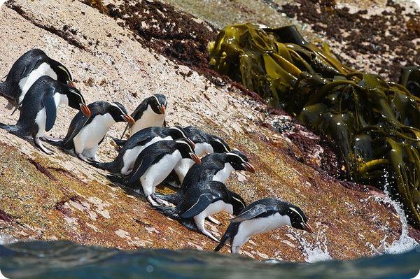 Большой пингвин (лат. Eudyptes robustus)