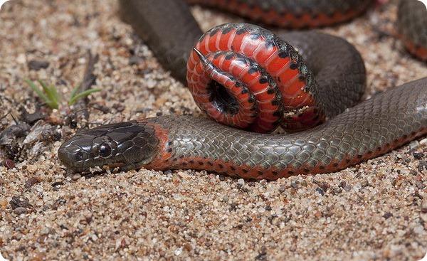 Точечная ошейниковая змея (лат. Diadophis punctatus)