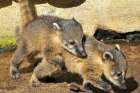 Дебют коати в немецком парке дикой природы