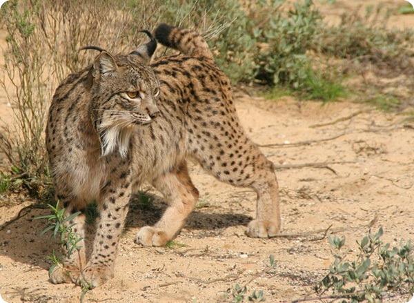 Пиренейская рысь (лат. Lynx pardinus)