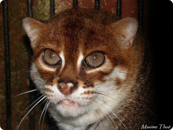 Суматранская кошка (лат. Prionailurus planiceps)