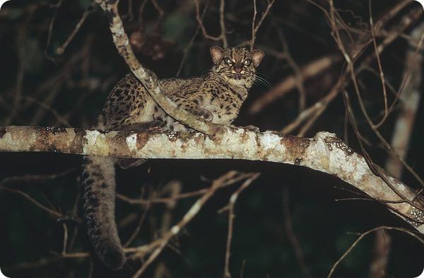 Мраморная кошка (лат. Pardofelis marmorata)
