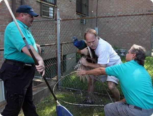 В одну из школ Нью-Йорка вернули сбежавшего павлина