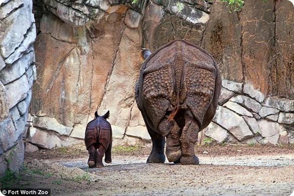Детёныш индийского носорога появился в зоопарке Техаса