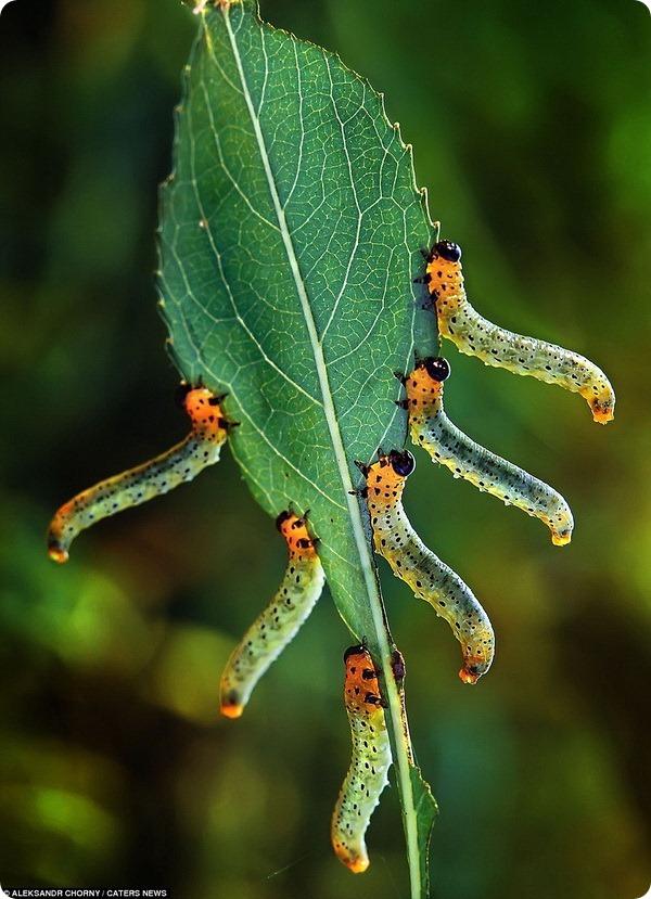 Гусеницы-акробатки