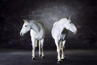 Лошади в студии фотографа