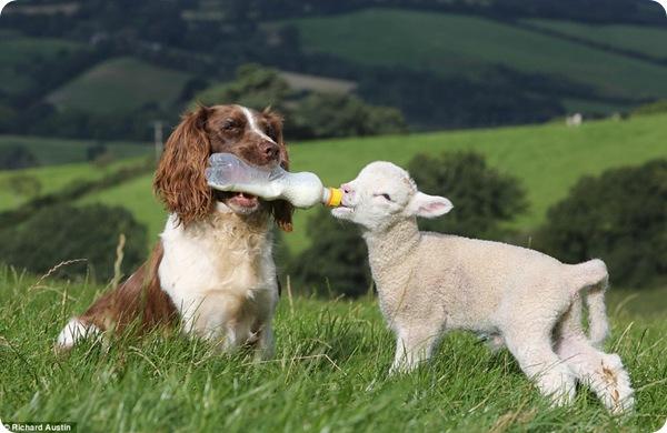 Пёс-пастух по кличке Джесси