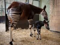 Малыш окапи из зоопарка Antwerp Zoo