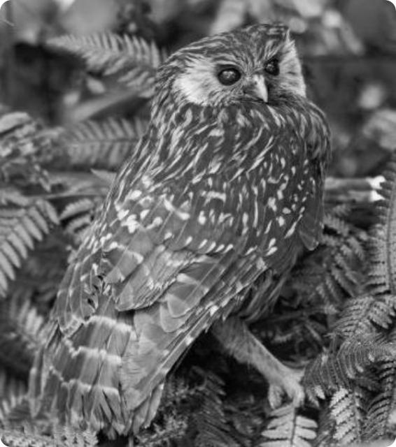 Смеющаяся сова, или новозеландская сова-хохотунья (лат. Sceloglaux albifacies)