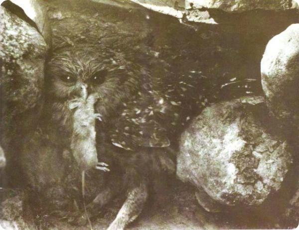 Смеющаяся сова, или новозеландская сова-хохотунья (лат. Sceloglaux albifacies).