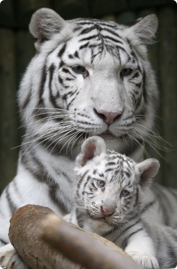 В чешском зоопарке родились белые бенгальские тигрята