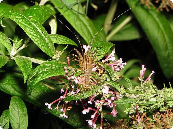 Обыкновенная мухоловка (лат. Scutigera coleoptrata)