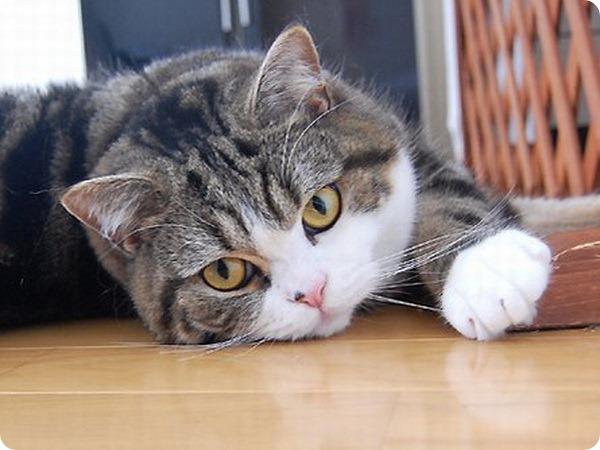 Известный японский кот Мару снялся в рекламе