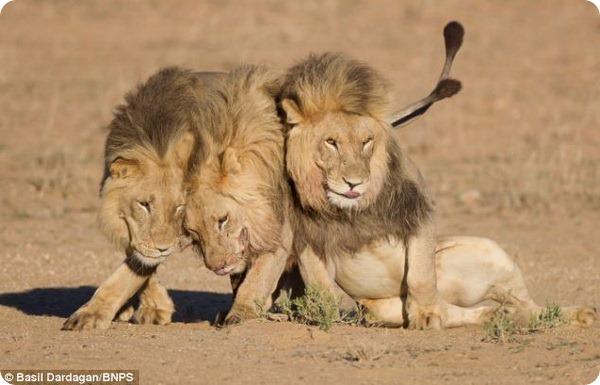 Львиные объятия