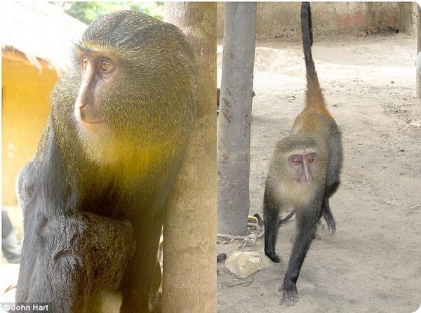 В Африке обнаружен новый вид обезьян