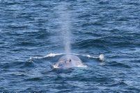 В водах Сиднея был замечен 15-метровый синий кит
