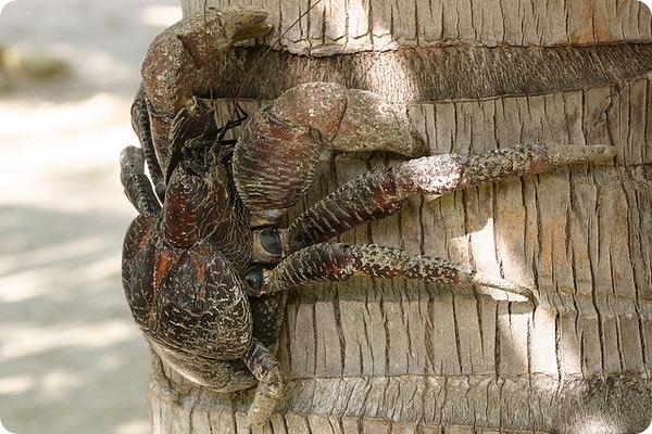 Пальмовый вор или кокосовый краб (лат. Birgus latro)