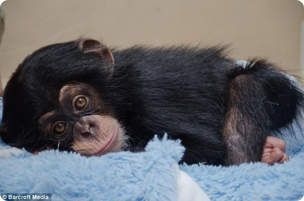 Детёныш шимпанзе находит новую семью