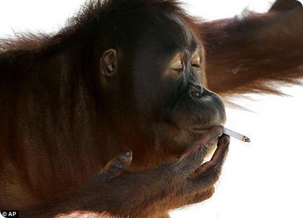 Заядлая курильщица орангутанг Тори родила малыша
