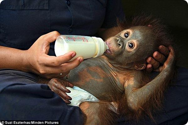Малыш Берни из Центра помощи орангутанам на Борнео