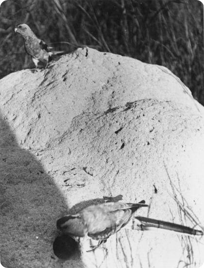 Райский плоскохвостый попугай (лат. Psephotus pulcherrimus).