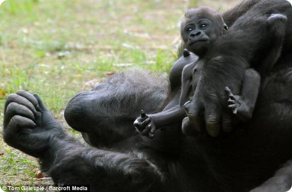 Детёныш гориллы из зоопарка Северной Каролины