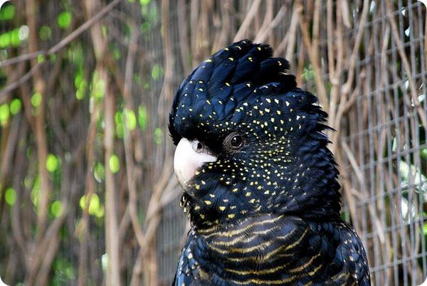 Траурный какаду Бэнкса (лат. Calyptorhynchus banksii или Calyptorhynchus magnificus)