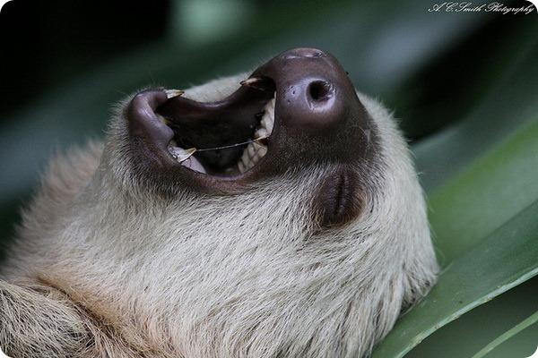 Трёхпалые ленивцы (лат. Bradypodidae)