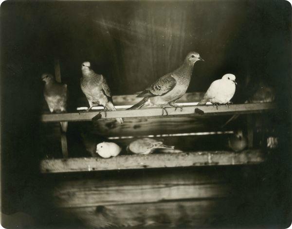 Странствующий голубь (лат. Ectopistes migratorius).